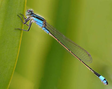 Violet Tail Dragonfly
