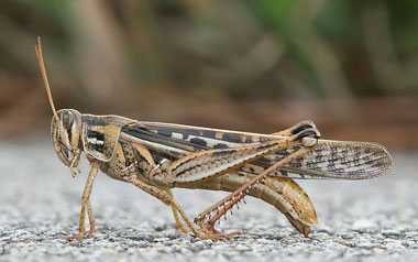 Alutacea Bird Grasshopper