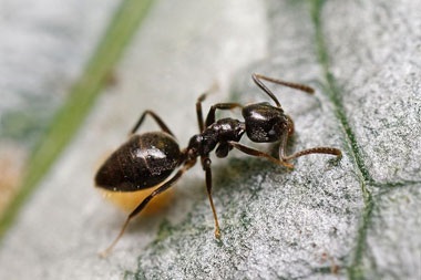 Odoruous House Ant
